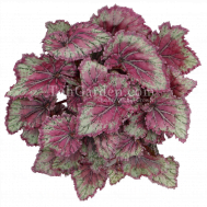 Begonia Magic Colours Pinkpopvvvvvvvvvvvvvv