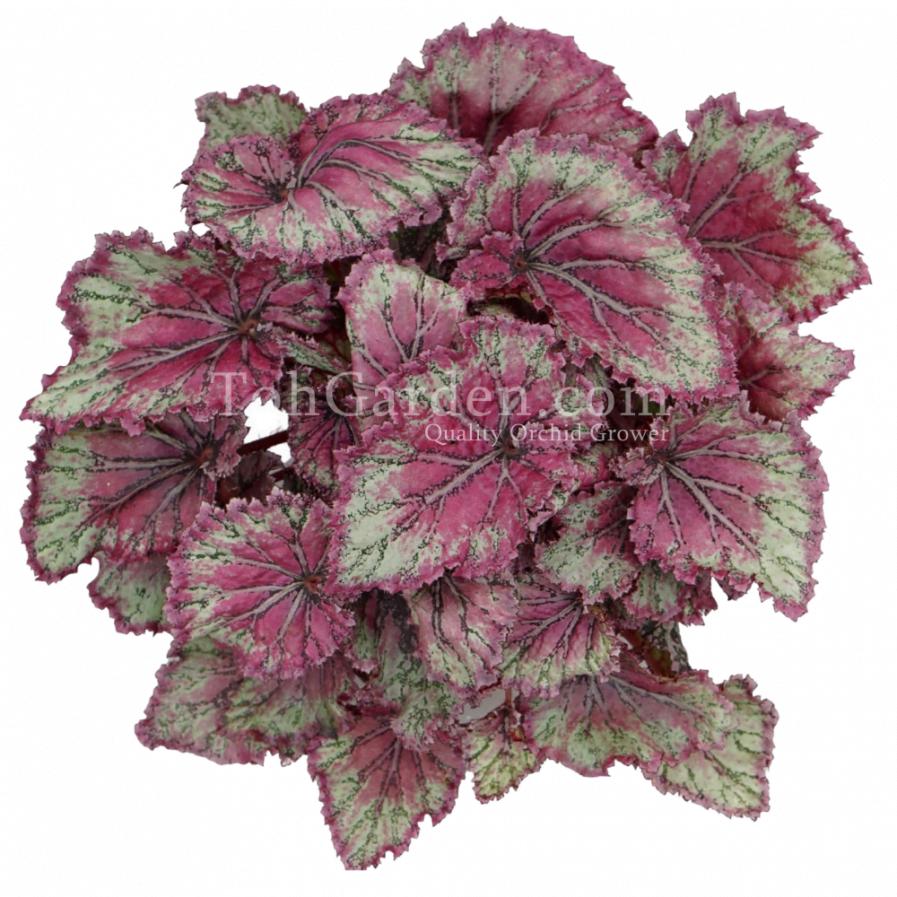 Begonia Magic Colours Pinkpopvvvvvvvvvvvvvv