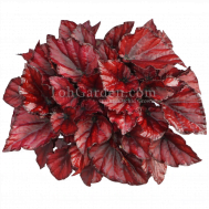 Begonia Magic Colours Red Bull