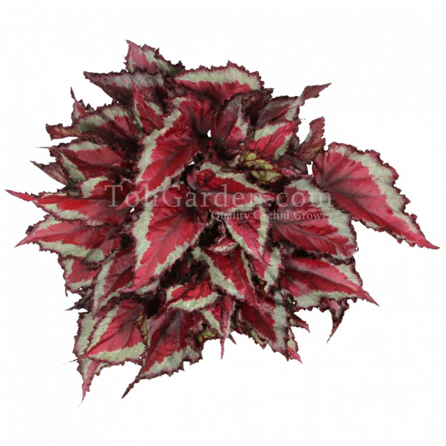 Begonia Magic Colours Spitfire