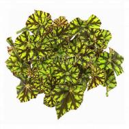 Begonia Zumba