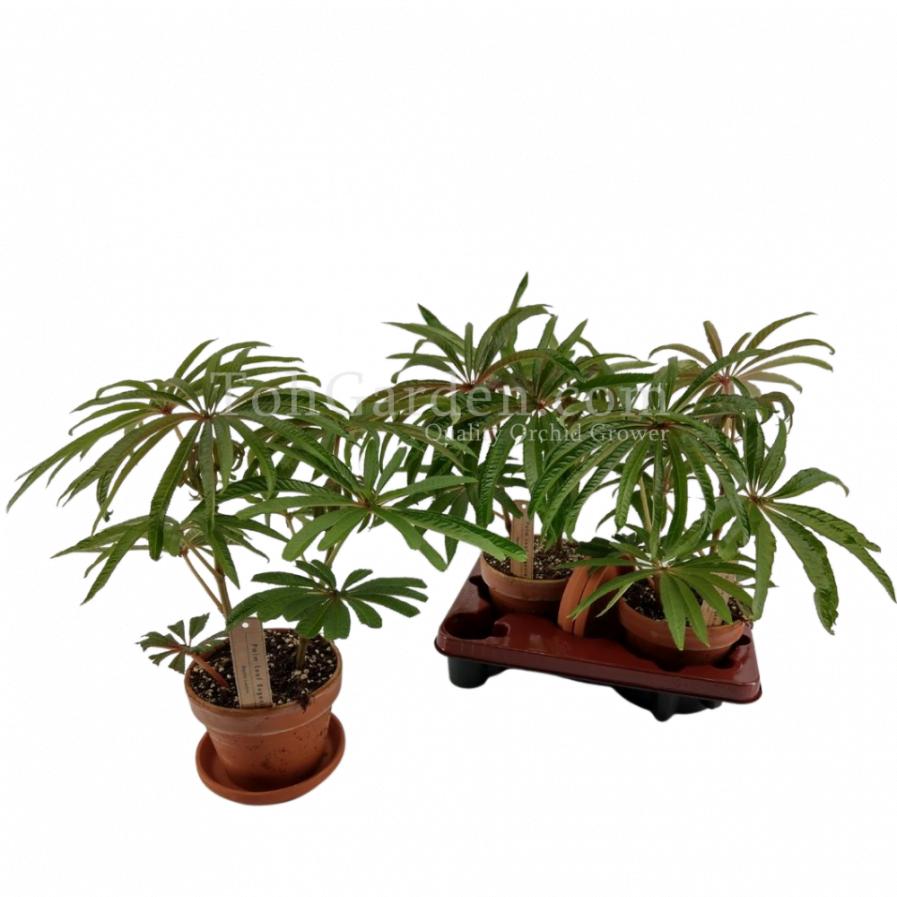 Begonia luxurians