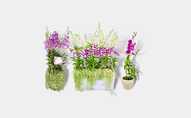 Dendrobium Arrangement