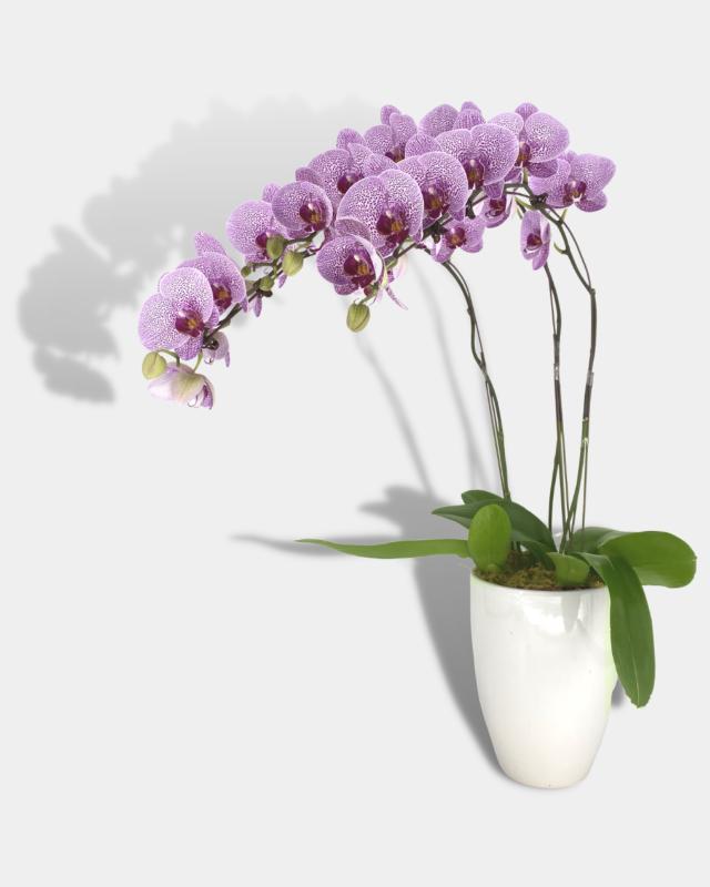 Phaleanopsis Arrangement Banner
