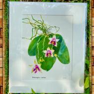 Phaleanopsis Fragance