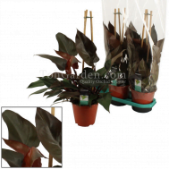 Philodendron Ruby Piramide