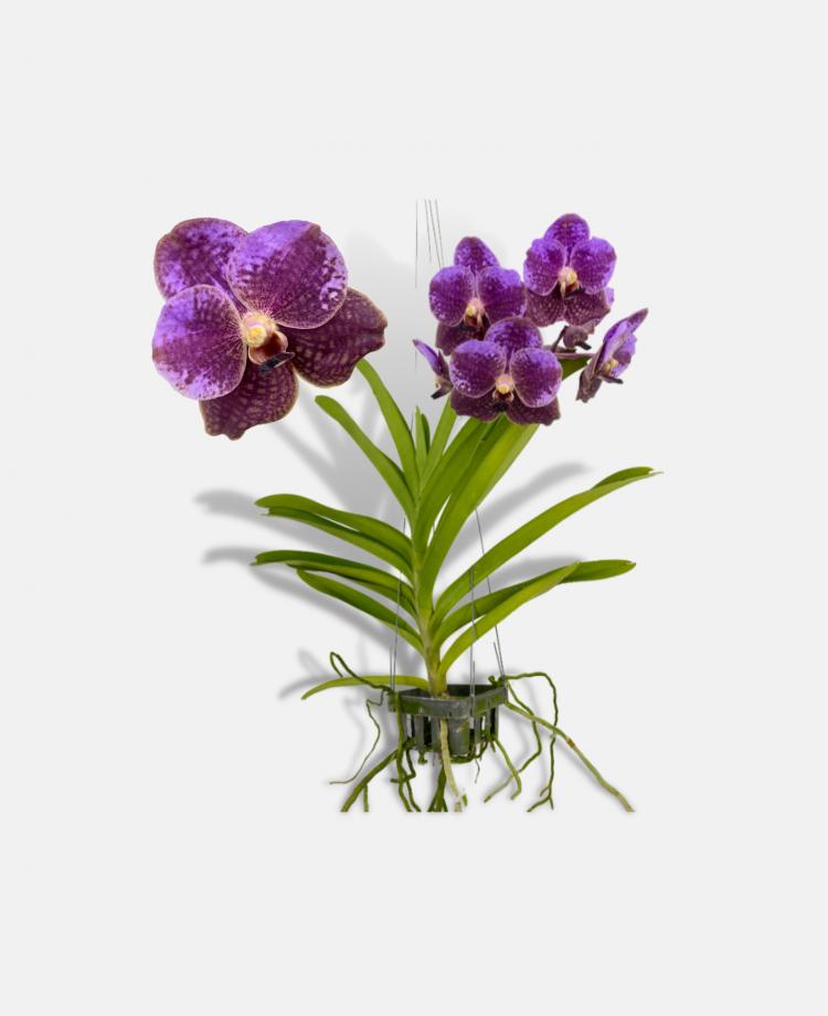 Vanda Plant Banner