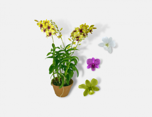 Dendrobium Plant Banner