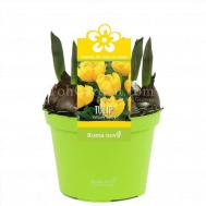 Tulip Baby Yellow