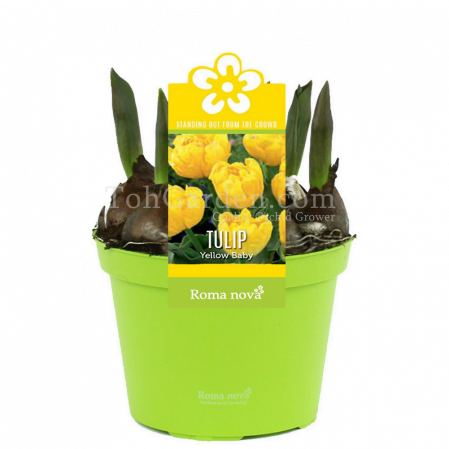 Tulip Baby Yellow
