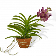 Vanda Hybrid in Cray Pot