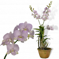 Dendrobium Champagne White hybrid