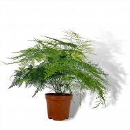 Asparagus Fern (文竹)