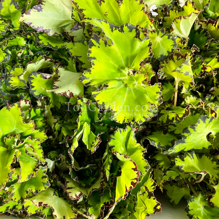 Begonia Magic Colours Jive