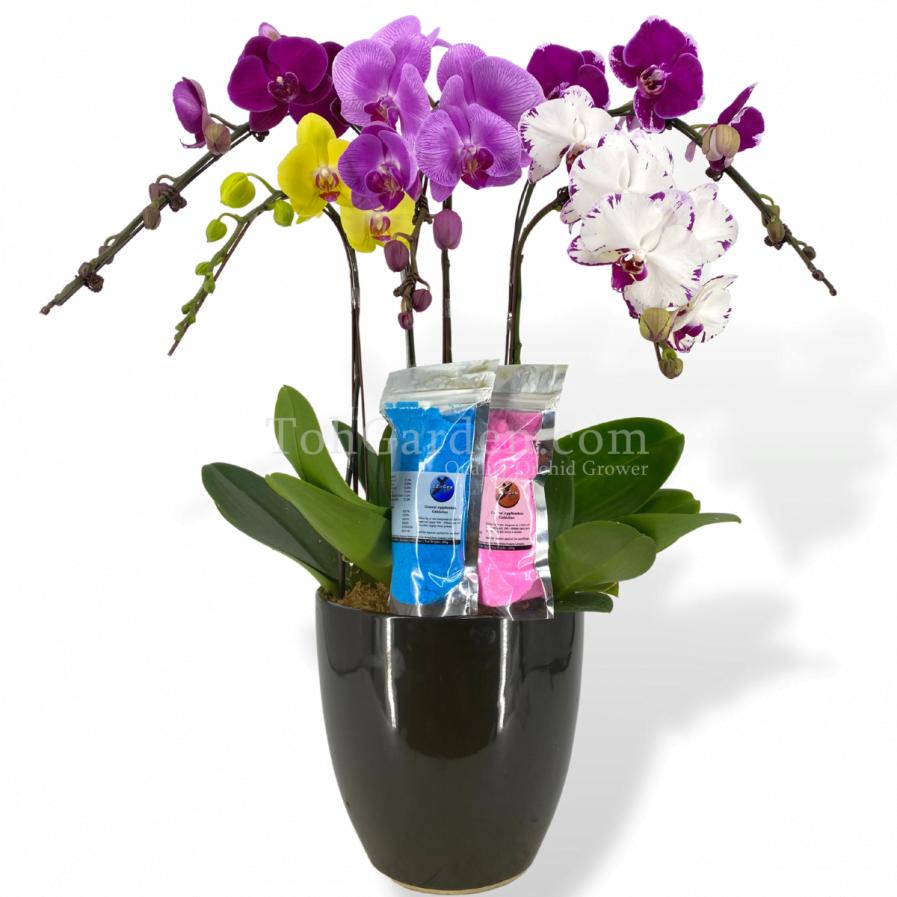 5-in-1 Multicolor Phalaenopsis Combination