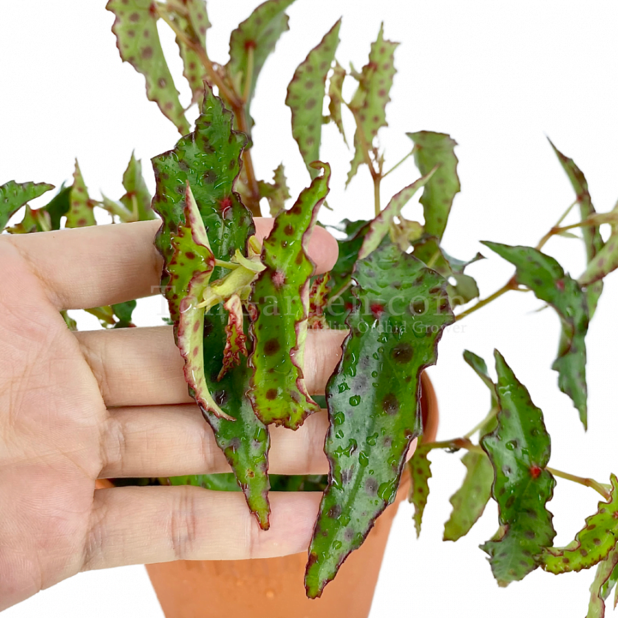 Begonia amphioxus (秋刀鱼)