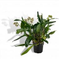 Dendrobium Stubbly Dinosaur