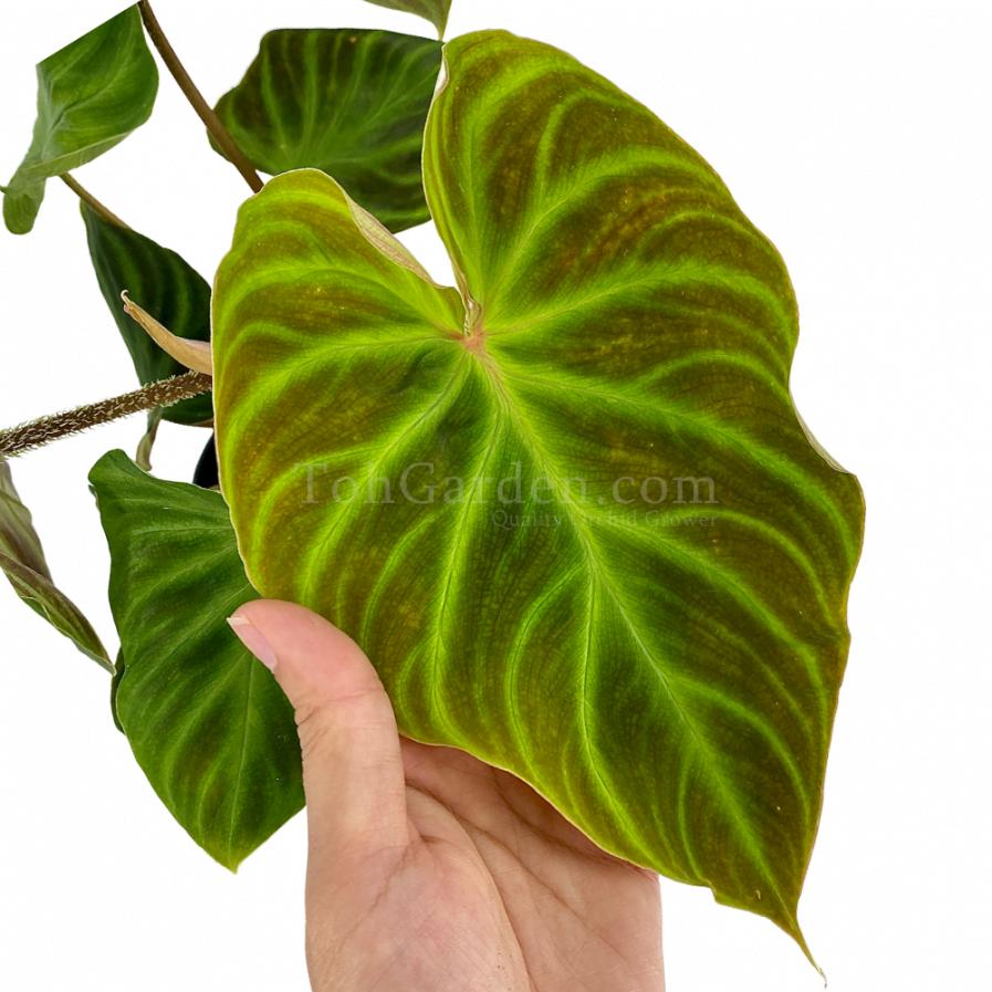 Philodendron Verrucosum Incensi