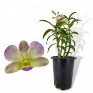 Dendrobium Yamamoto Hybrid