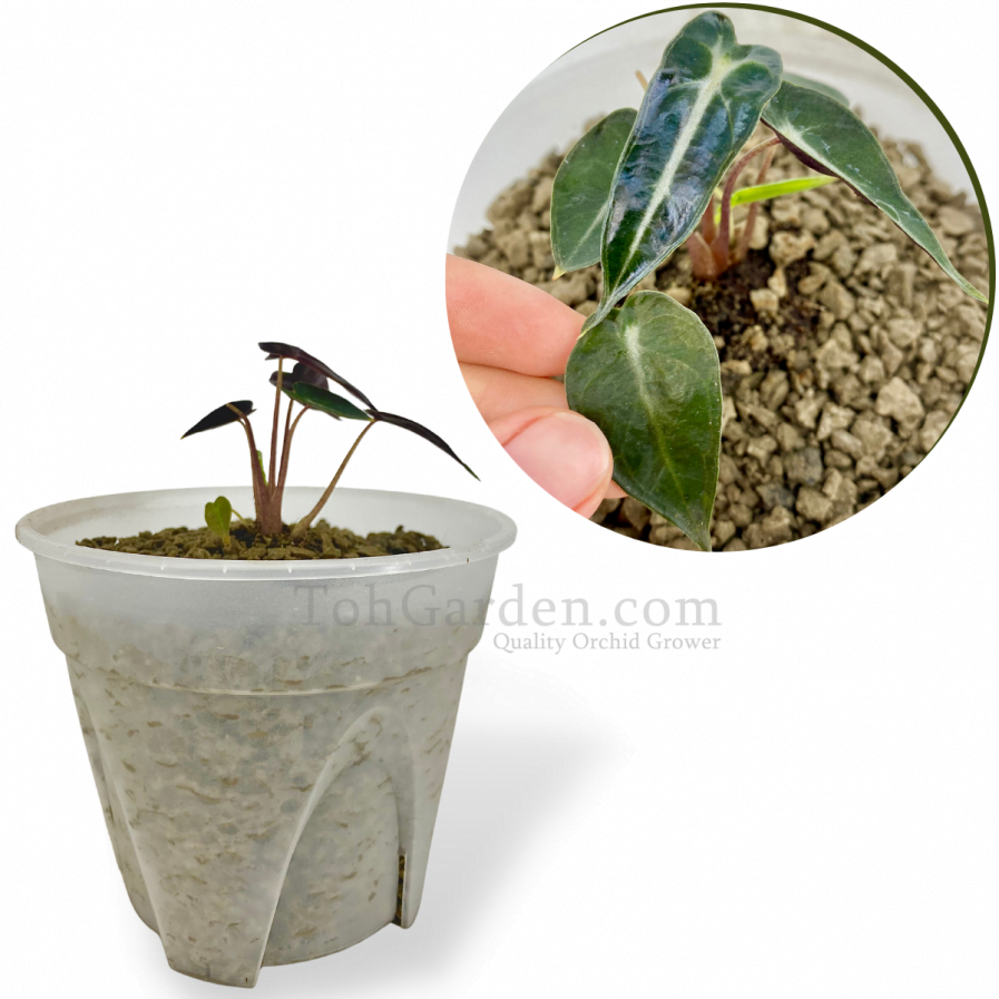 Alocasia Bambino Arrow (Young Plant)