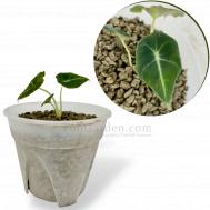 Alocasia Black Velvet (Young Plant)
