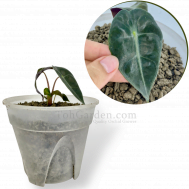 Alocasia Polly (Young Plant)
