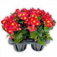 Begonia Valentino Red