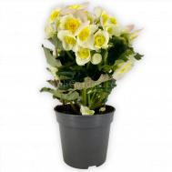 Begonia Valentino White