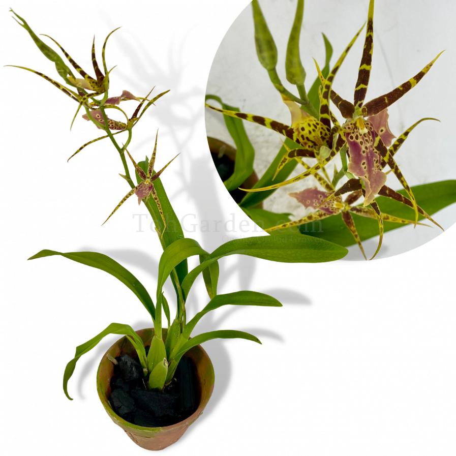 Brassia Shelob Tolkien