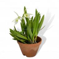 Brassocattleya Chariya hybrid white