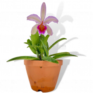 Cattleya hybrid - Large Pink with Purple Lip