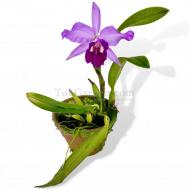 Cattlianthe Gay Wan Guay Large Purple