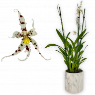 Degarmoara Hybrid in Marble Pot