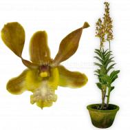 Dendrobium Amitabh Bachchan