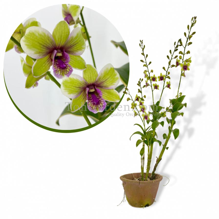 Dendrobium Burana Jade hybrid