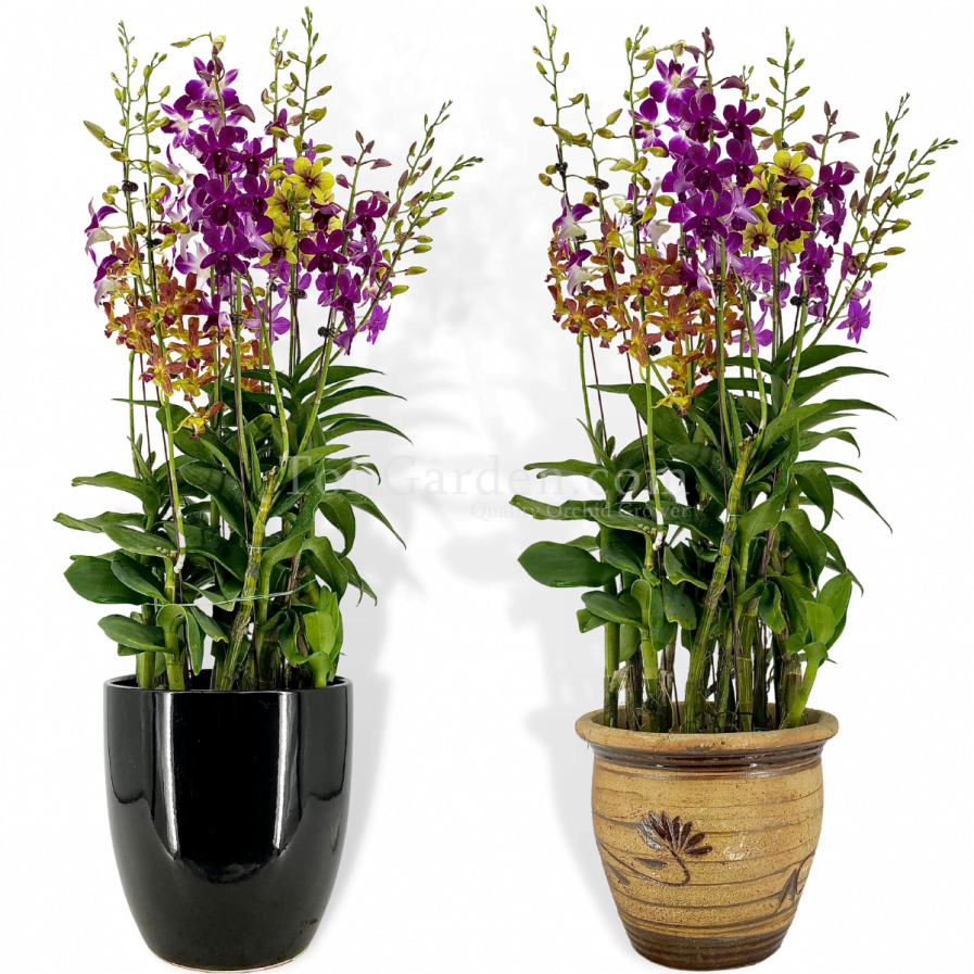Dendrobium Mix Arrangement (5 in 1)