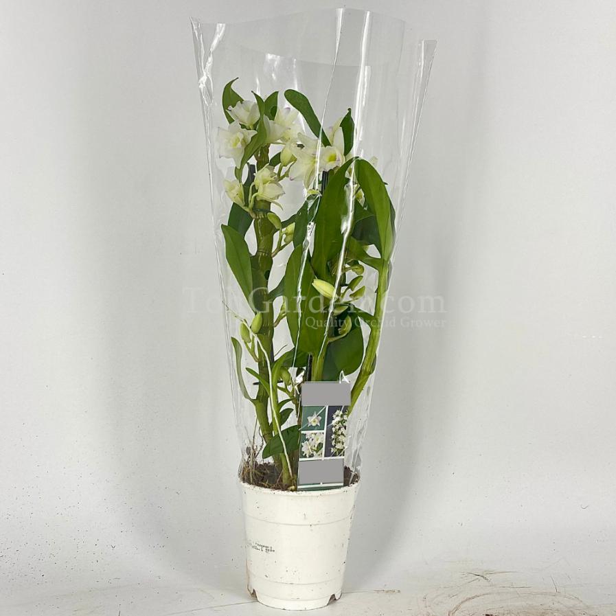Dendrobium Nobile White