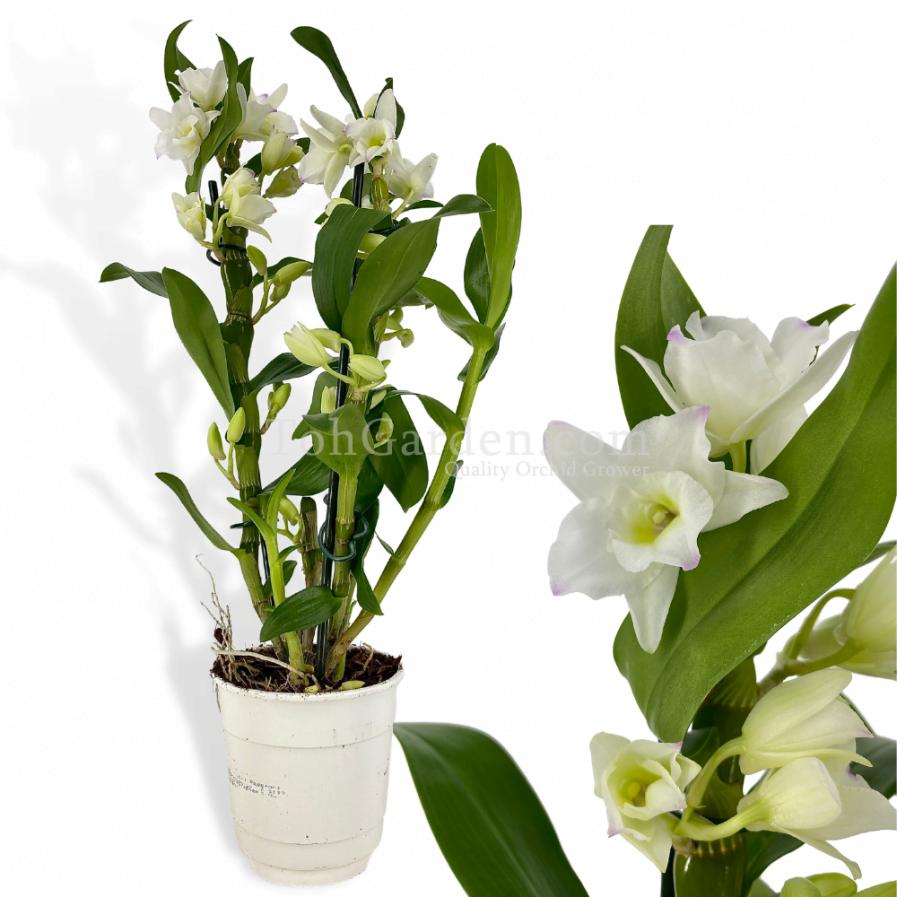 Dendrobium Nobile White in Plastic Pot