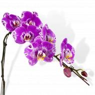 Designer Stripes Phalaenopsis