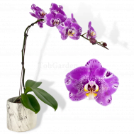 Designer Stripes Phalaenopsis in Marble pot