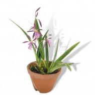 Encyclia Purple