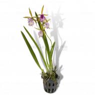 Encyclia phoenicea & Brassavola Little Stars