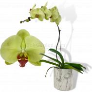 Green Phalaenopsis