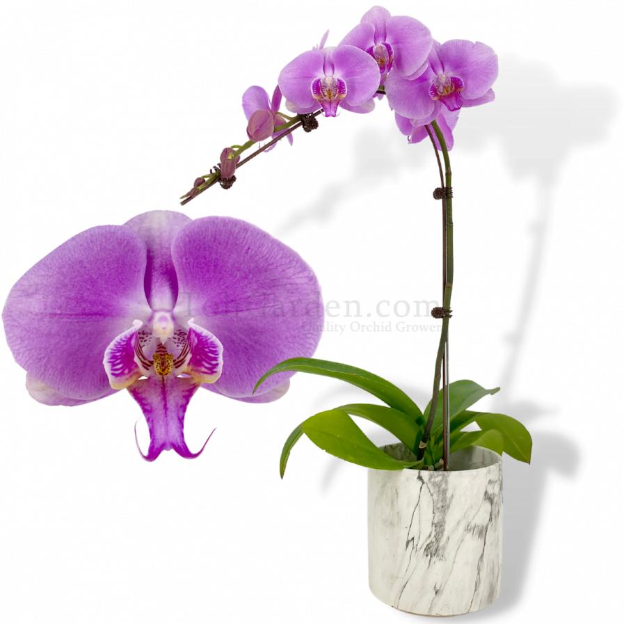 Light Lalac Phalaenopsis