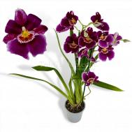 Miltoniopsis hybrids (Large Flowers)