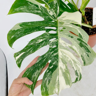 "Variegated Monstera Borsigiana ""Swiss Cheese Plant"""