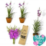 Papilaenopsis Hao Xiang Ni (Double) x 3 + Flower Giftbox