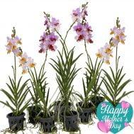 Papilaenopsis Hao Xiang Ni hybrids (Single) x 8 Plants