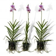 Papilaenopsis Hao Xiang Ni Single x 3