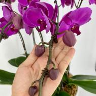 Phalaenopsis Dark Purple